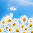 Camomiles on a blue sky background. — Stock Photo