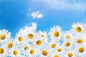 Camomiles na tle błękitnego nieba. — Zdjęcie stockowe