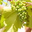 Green grapes in vineyard hanging from vine - Stock Photo
