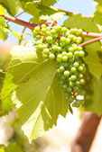 Green grapes in vineyard hanging from vine — Stock Photo