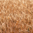 Ripening ears of wheat field - Stockfoto
