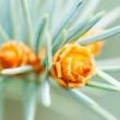 Stock Photo: Pine Cone And Branches
