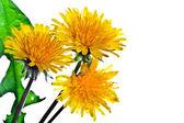 Flower of dandelion — Stock Photo