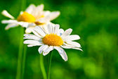 Chamomile on green abstract background — Stock Photo