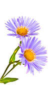 Chamomile on white background — 图库照片