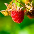 Ripe wild raspberries - ストック写真