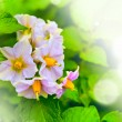 Summer lilac  flower — Stock Photo