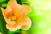 Summer pink flower — Stock Photo
