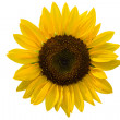 Summer decorative sunflowers - Stock Photo