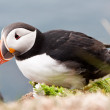 Beautiful puffin bird nesting — Stock Photo