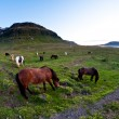 Horses of Iceland - Stock Photo