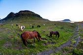 冰岛的马 — 图库照片