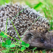 Curious hedgehog — Stock Photo