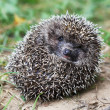 Frightened hedgehog — Stock Photo #11680056