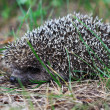 Hedgehog — Stock Photo #11680058
