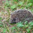 Small hedgehog — Stock Photo #11680060