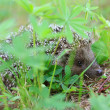 Stock Photo: Hedgehog in grass