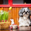 Shih-Tzu and Easter Bunnies — Stock Photo