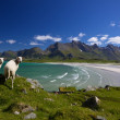 Foto Stock: Sheep on Lofoten islands