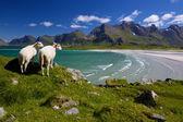 Fazenda de ovelhas em lofoten — Foto Stock