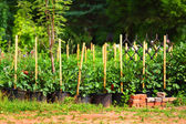 Cultivation of garden plants — Stock Photo
