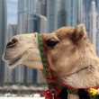 Camel at the urban background — Stock Photo