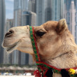 Stock Photo: Camel at urbbackground