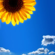 Stock Photo: Sunflower against blue sky