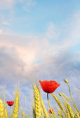 Field poppy against the blue sky. Summer morning — Stock Photo