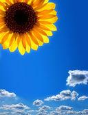 Sunflower against the blue sky — Stock Photo