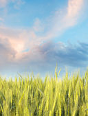 Wheaten field in the morning with blue sky — Stock Photo