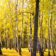 Stock Photo: Autumn gold wood