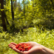 Stock Photo: Wild strawberry in hand in wild wood