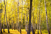 Autumn gold wood — Stock Photo