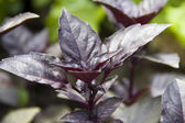 Embossed purple basil leaves closeup — Stock Photo