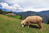 Pecore al pascolo su un prato — Foto Stock