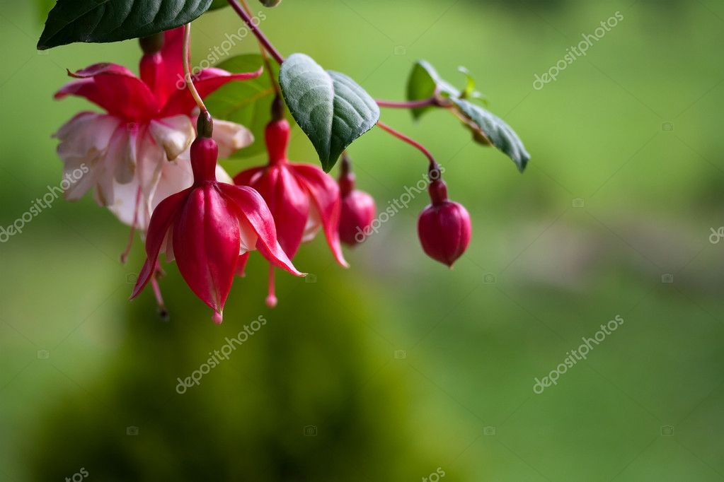 Fuchsia Flower in Red and White — Stock Photo #11223401