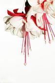 Fuchsia flowers — Stock Photo