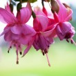 Fuchsia flowers — Stock Photo #11890267
