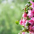 Stock Photo: Fuchsia flowers