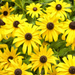Black eyed susan background - Stock Photo