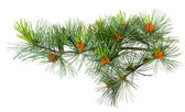 Branch cedar pine with pollen — Stock Photo
