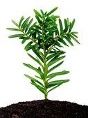 Yew seedling ( Taxus cuspidata ) — Stock Photo