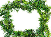 Frame yew ( Taxus cuspidata ) — Stock Photo