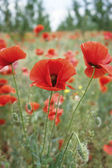 Poppies in bloom — Stock Photo