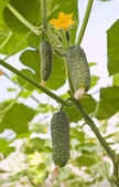 Growth of cucumber — Stock Photo