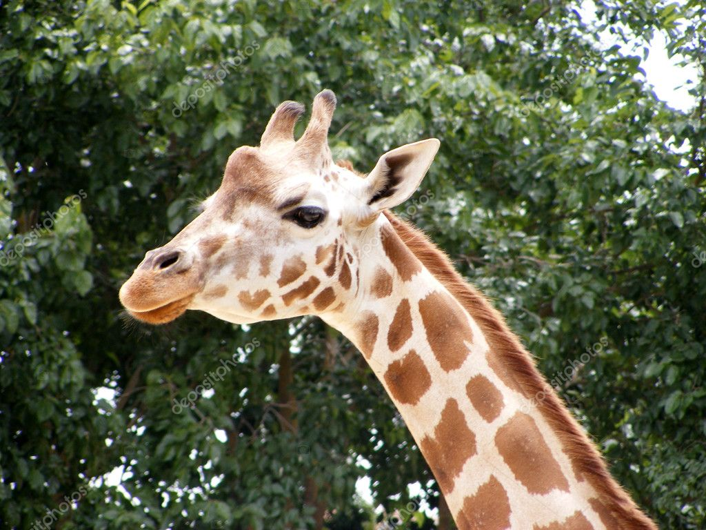 Closeup of a Giraffe head in the field — Photo #11830732