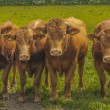 Four curious Cows — Stock Photo