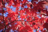 Autumnal ornament, red leaves — Stock Photo