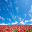 Red poppy field and lone tree — Stock Photo